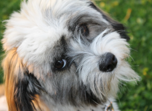 Havanese breed