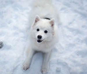 Japanese Spitz Breed
